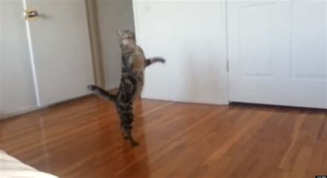 walking on hind legs just a cat walking on its hind legs huffpost uk