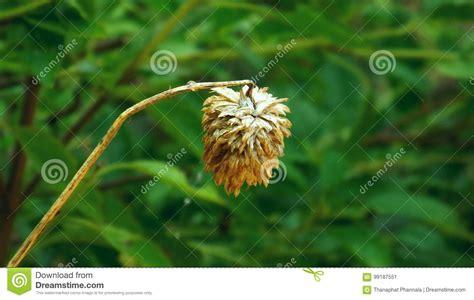 amaranto fiore amaranto immagine stock immagine di asciutto fiore