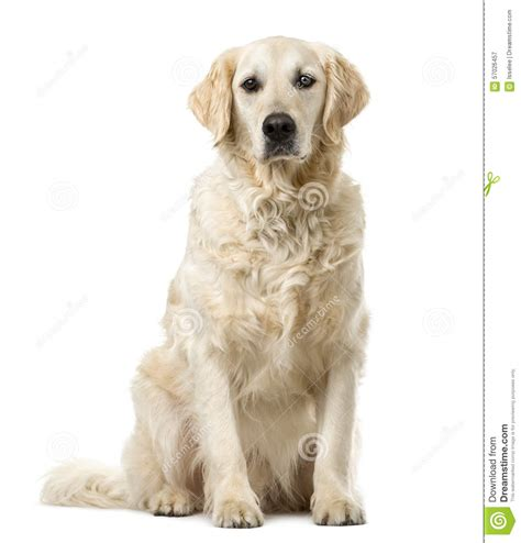 golden retriever sitting golden retriever sitting stock photo image 57026457