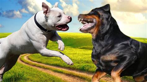 pitbull vs rottweiler pitbull vs rottweiler ultimate clash