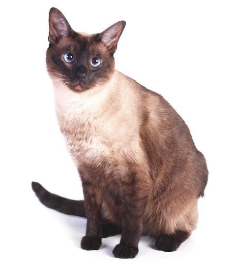 Moderncat Com Giveaways - tonkinese modern cat