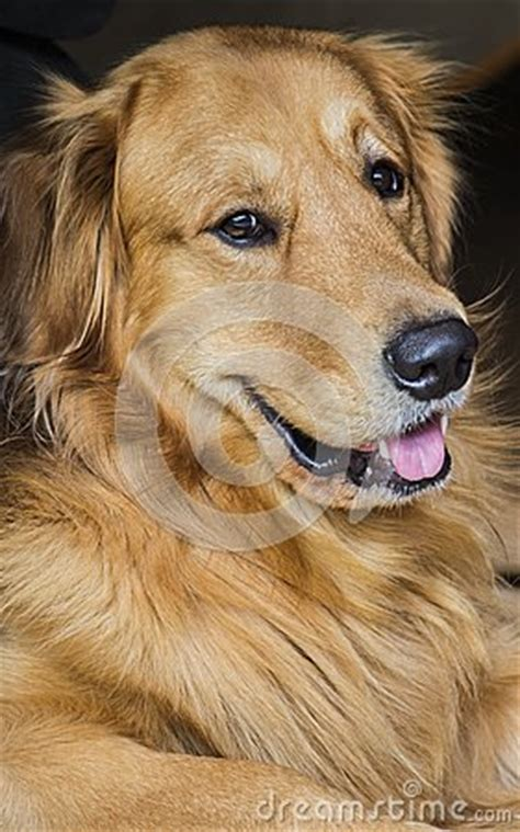 golden retriever driving golden retriever driving a car stock photography