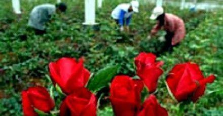 cara budidaya bunga mawar alam indah