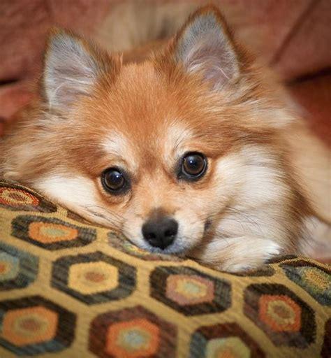 golden pomeranian puppies golden pomeranian puppy pic jpg hi res 720p hd