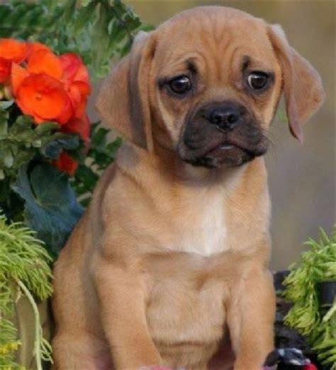 pug and beagle breed pug and beagle puggle pug mixed breeds the o jays pug and beagles