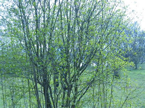 pin willow tree types on pinterest