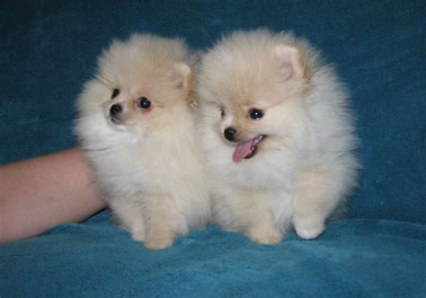pomeranian kennel eesti shafran sheeny kennel quot pomeranian and kleinspitz puppy for sale quot spitz pictures quot