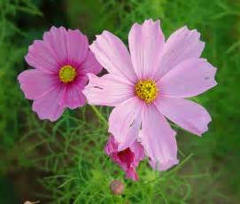 flowers for flower lovers cosmos flowers wallpapers