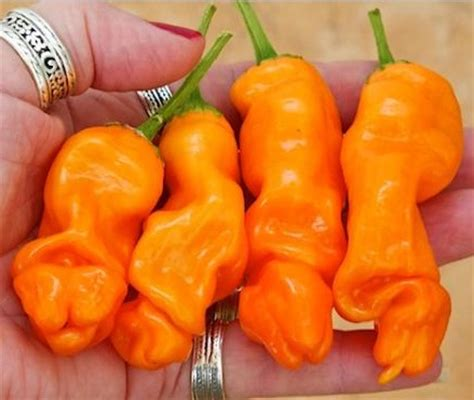 Bibit Cabe Elegance benih orange pepper 3 biji non retail bibitbunga
