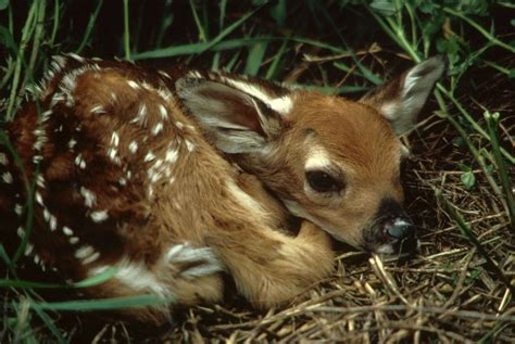 fawn images file white tailed deer fawn in grass odocoileus