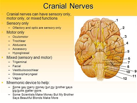 sensory motor and mixed nerves peripheral nervous system ppt