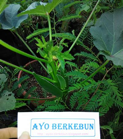 Jual Bibit Tanaman Okra Di Surabaya jual bibit okra murah ayo berkebun