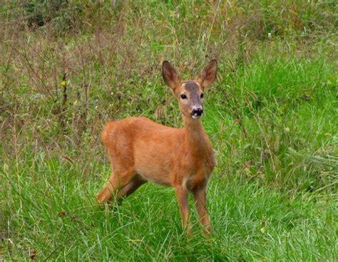animali da cortile elenco animali di montagna l elenco di tutti gli esemplari foto