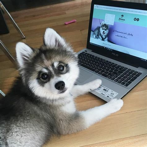 show me a pomeranian husky meet norman a husky pomeranian puppy that s so it doesn t even look real
