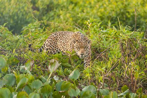 imagenes de jaguar mexicano el jaguar mexicano contar 225 con 14 nuevas reservas naturales