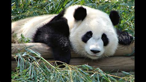 panda animals  children kids  kindergarten preschool learning toddlers sounds songs