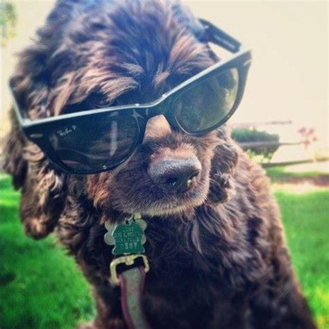 southern comfort dog kennels best 25 chocolate cocker spaniel ideas on pinterest