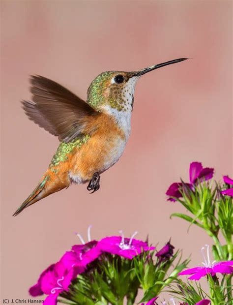 1000 images about hummingbird on pinterest ecuador