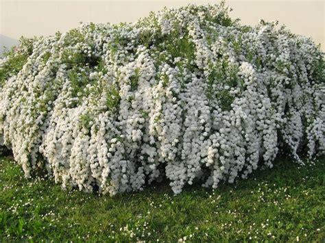 biancospino fiori biancospino kyocenter