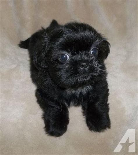 shih tzu mix chihuahua puppies shih tzu chihuahua mix puppies females for sale in classified