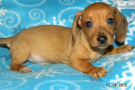 free dachshund puppies in free mini dachshund puppies 33 desktop background dogbreedswallpapers