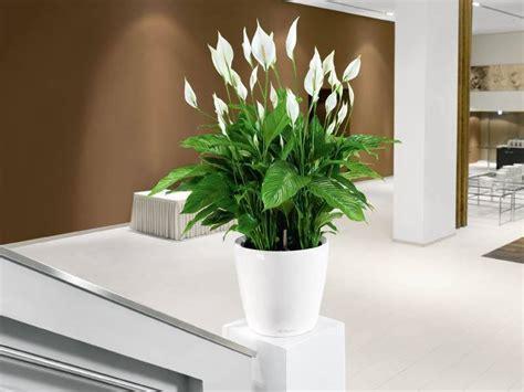 Aglaonema lepelplant sweet lauretta volle kamerplant fleurdirect
