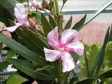 kewpie oleander tropicals tender perennials new oleander sport 1 by
