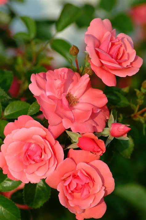 prizewinning roses hgtv