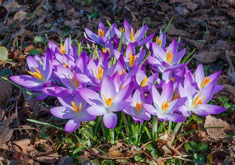 fiore crocus file krokussen crocus locatie tuinreservaat