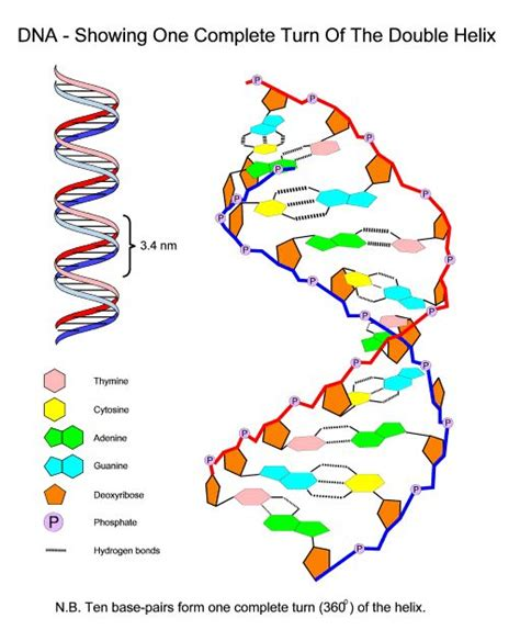 chromosome diagram labeled dna structure labeled diagram schematic biology