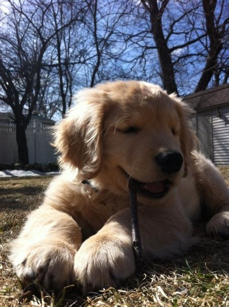 golden retriever photo contest 153 best images about goldens in the news on golden retriever rescue