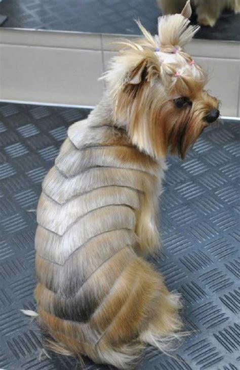 yorkie terrier hairstyles pictures of terrier hairstyles breeds picture