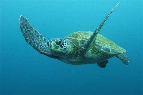 Duvet Green Green Sea Turtle Chelonia Mydas Photograph By Pete Oxford