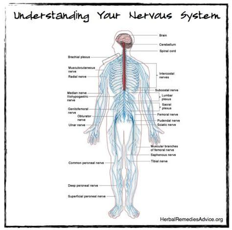 central nervous system diagram structure of the nervous system