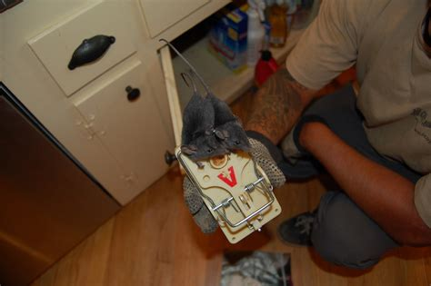 how do mice get in house how do mice get in house 28 images how to get rid of mice in the attic image