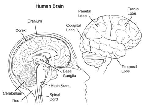 black out sections of pdf ausmalbild anatomie des menschlichen gehirns