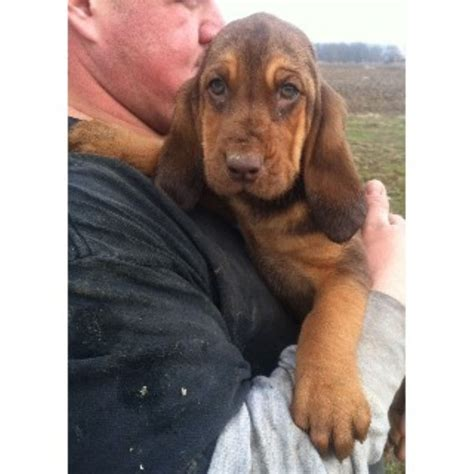 bloodhound puppies for sale in ohio wrinklypaws bloodhound breeder in findlay ohio listing id 21795