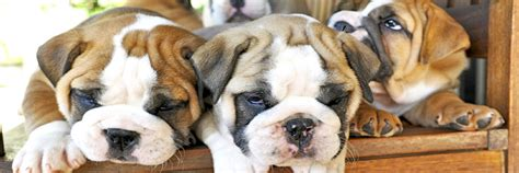 Why Does Bulldog Shed So Much by Why Do Bulldogs Cost So Much Suburban Bullies
