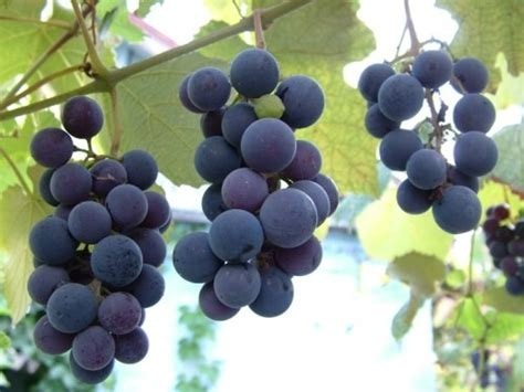 grapes for dogs grapes and raisins are toxic for dogs