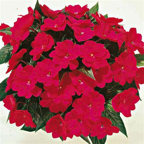 impatiens nuova guinea vaso impatiens nuova guinea floricoltura zonta