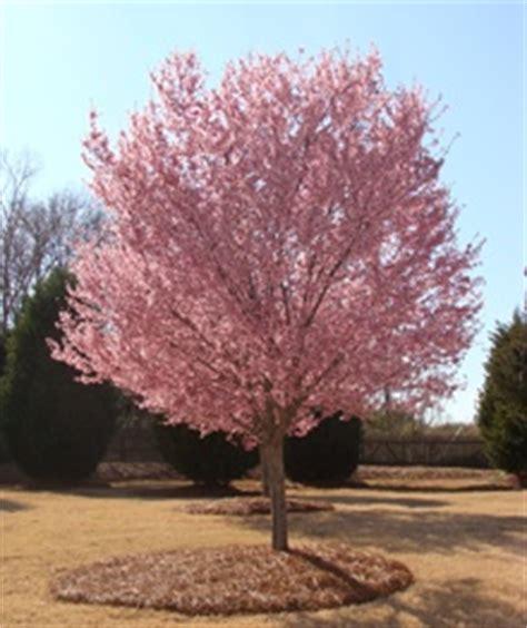 okame cherry tree from my gazebo pinterest