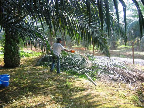 membuat biodiesel dari minyak kelapa mantaff ini cara membuat pakan sapi dari pelepah sawit