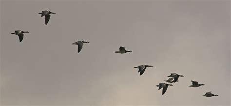 エレンのアメリカ日記 bird migration 渡り鳥