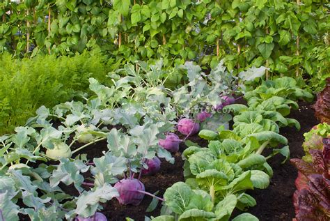 Root Vegetable Garden Two Colors Of Kohl Rabi Cool Weather Root Vegetable