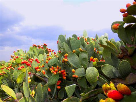 fiori di fichidindia fico d india la pianta piu importante mondo verde