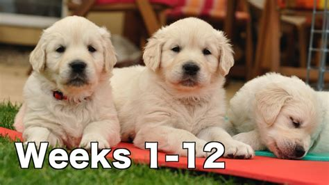 golden retriever puppies 1 week golden retriever puppy dogs growing weeks 1 12