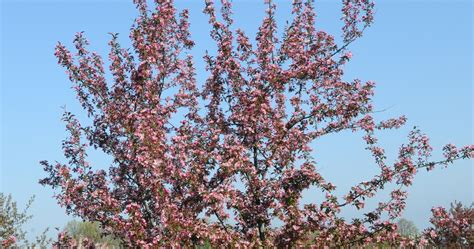 along the trail free crabapple trees