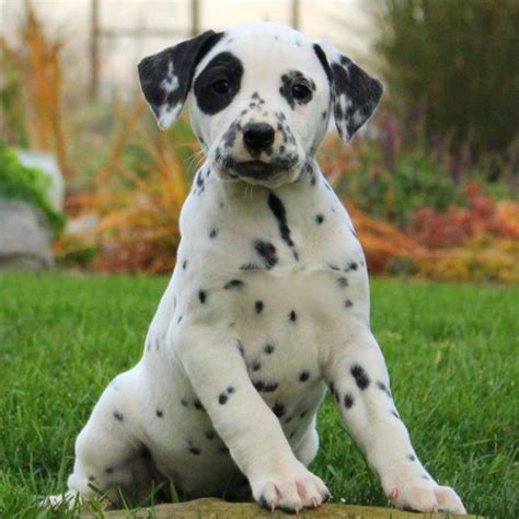 dalmatian puppies for sale california 25 best ideas about dalmatian puppies for sale on dalmatians for sale