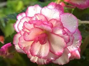 begonia flowers flowers