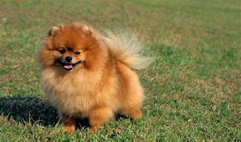 pomeranian orange 30 most beautiful pomeranian photos and pictures